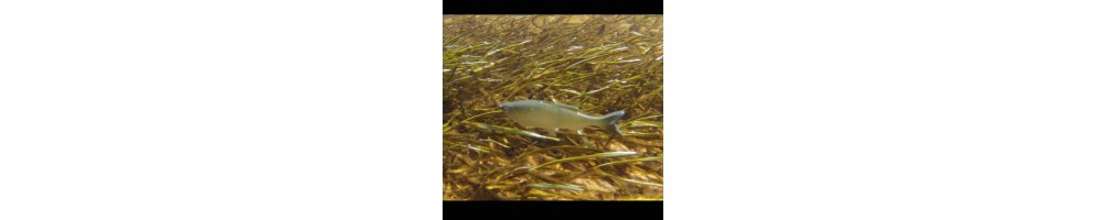 Huddlestone Grass Minnow